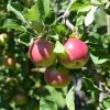 Stop in for Apple Picking!