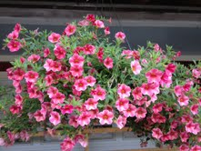 Beautiful Hanging Baskets for Mother's Day!